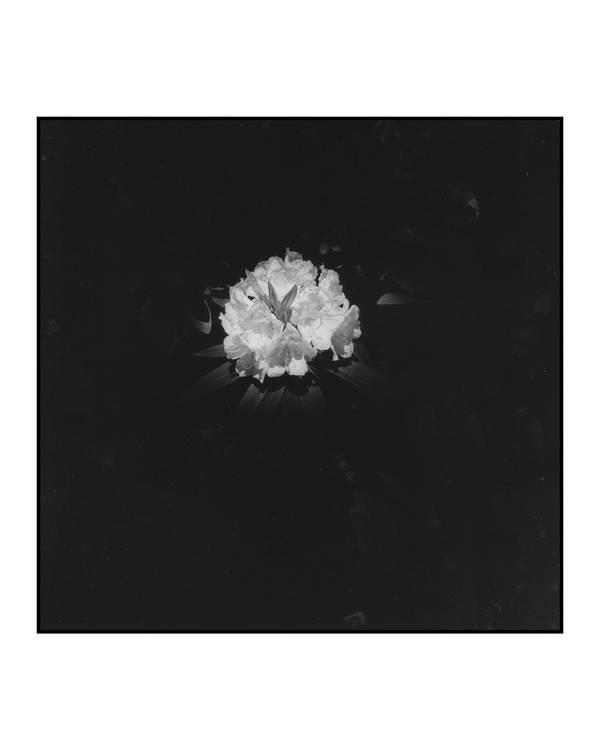 Summer Rhododendron
