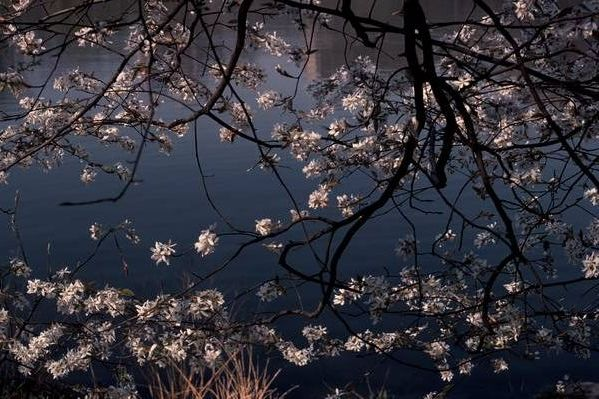 Cherry Blossoms at the Pond