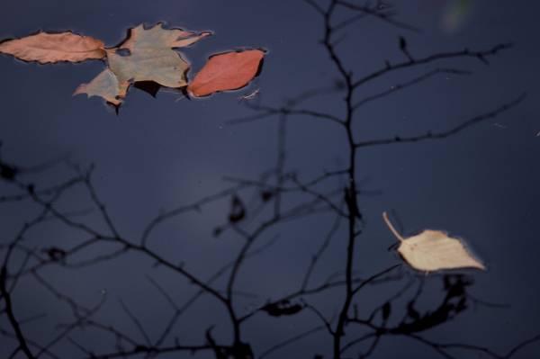 Pond Leaves II