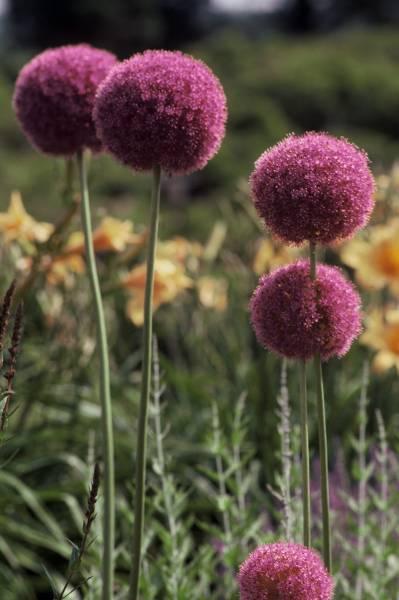 Allium Gigantia