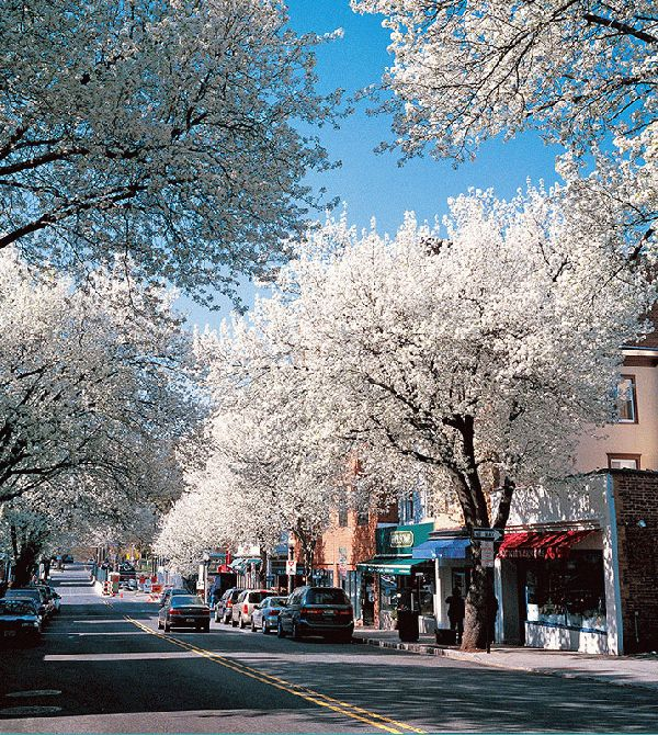 Witherspoon Street Cherry Trees I