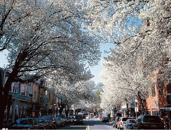 Witherspoon Street Cherry Trees III