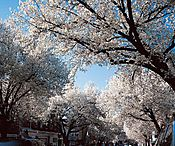 063_Witherspoon_Street_Cherry_Strees_II.jpg
