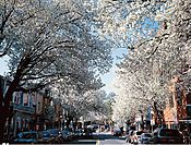 063_Witherspoon_Street_Cherry_Strees_III.jpg